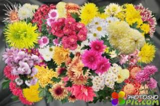 Клипарт Осенний бал хризантем - кусты и букеты