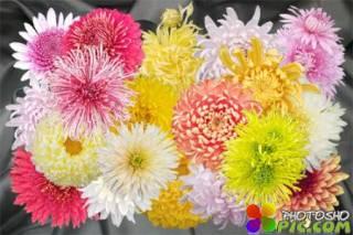 Клипарт Осенний бал крымских хризантем - одиночные цветки