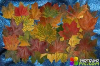 Клипарт Настоящие осенние листья - часть первая - Клён
