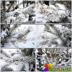 Клипарт - Ветки сосны в снегу / Pine branch in snow
